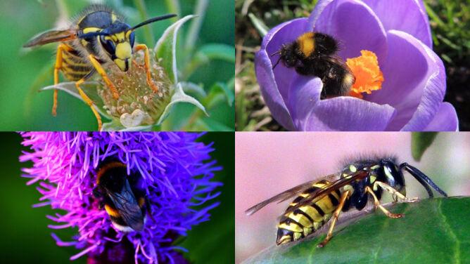 Pszczoła Osa Trzmiel Czy Szerszeń Jak Rozróżnić Te Owady