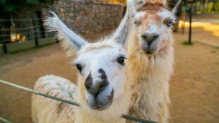 Cała nadzieja w... lamach. Ich przeciwciała neutralizują SARS-CoV-2